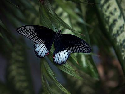 продаются тропические бабочки