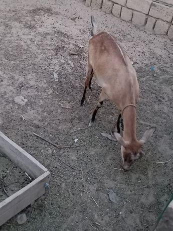 Ешкi лактар сатам  Лактар занен 80мын ешкі лагымен 120,150мын