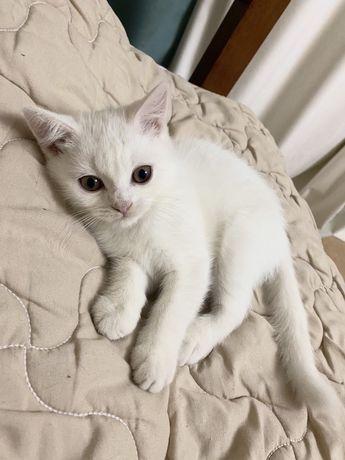 Продается породистый белый котенок