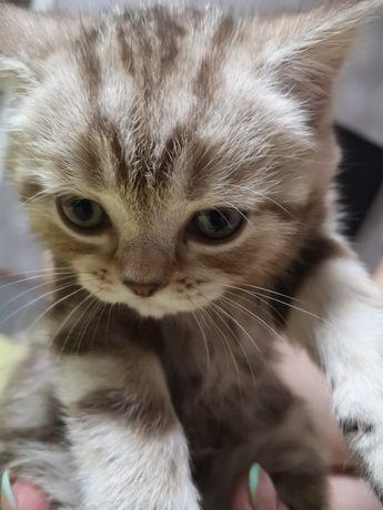 Котята Британец 2 месяца