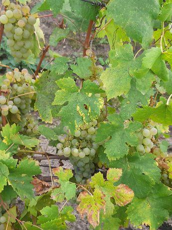 Struguri de vin ( alb)