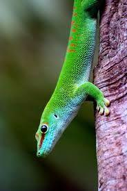 Дневные мадагаскарские гекконы, или фельзумы