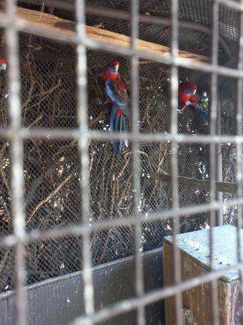 Продам чистопородных попугаев розелла цвет гранат.цена 25000т.тг.за.шт