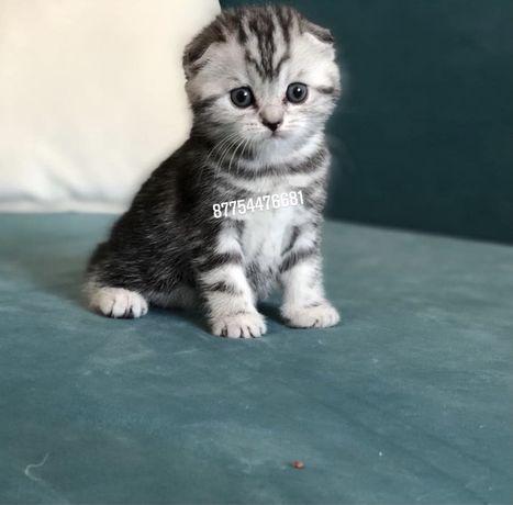Продажа самых шикарных шотландских котят от заводчиков