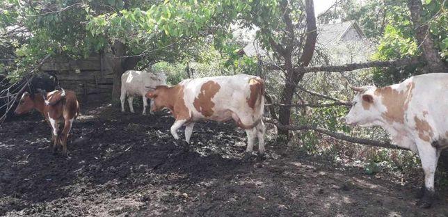 Корова коровы симентал нители молочные