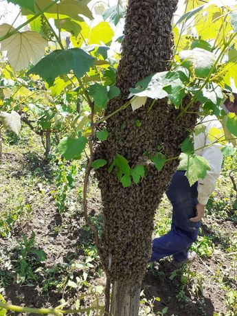 Vând roi albine natural