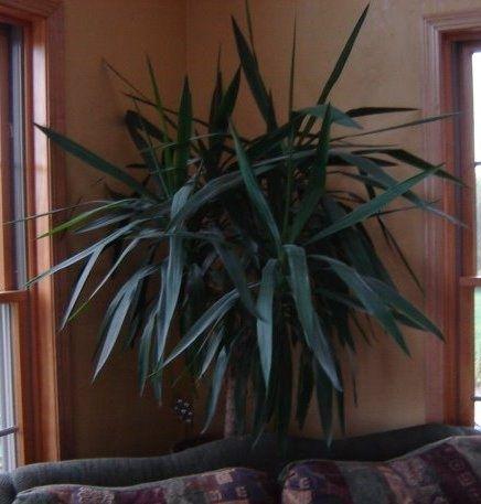 palmier yucca 70-150 cm