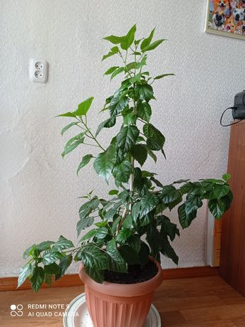 Срочно!!!Продается китайская роза (гибискус). 2.5 года. Махровая.