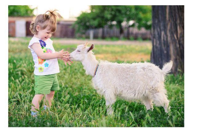 Домашнее Козье молоко породистых коз
