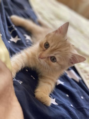 Кошечка 4 месяца шотланский веслоух