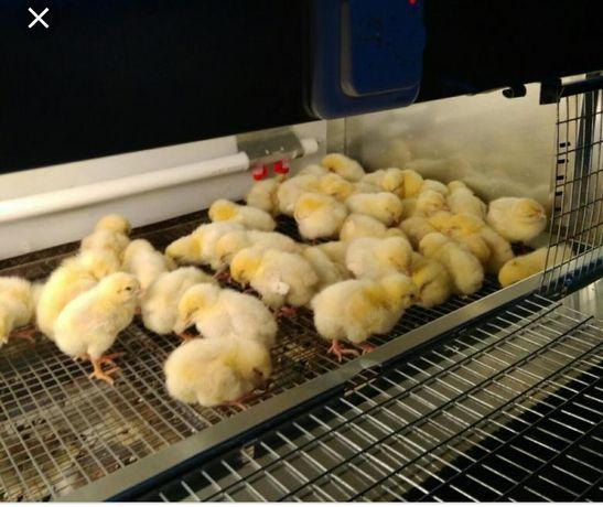 Петушки цыплята. (ломан браун)