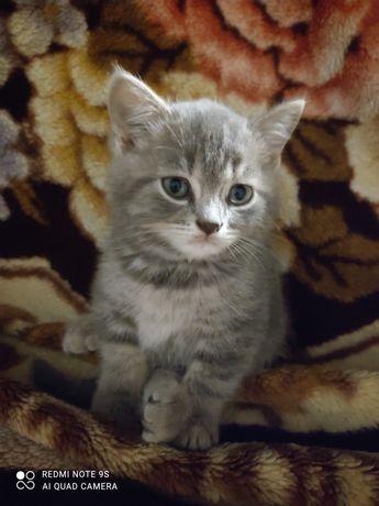 Продам котят шотланской породы