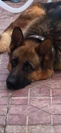 Пропала собака , немецкая овчарка