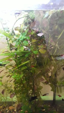 Людвига болотная куст 300 тенге