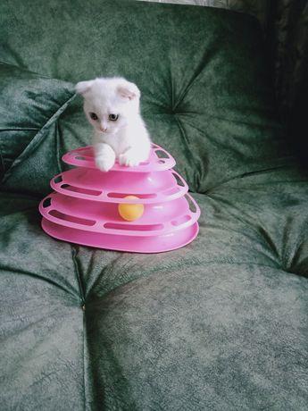 Шиншиловый котёнок скоттиш фолд