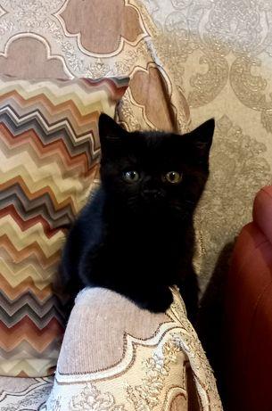 Британский котик с отл.родословной