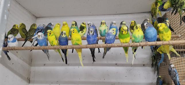 Papagali peruși crescatorie