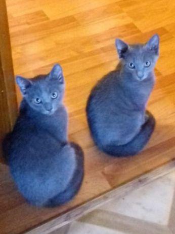 Тимка и Дымка, котята породы Русская голубая, ждут своего друга.