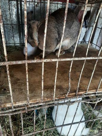 Продам кроликов великанов привезенных с горного Алтая очень крупные
