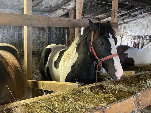 Cai de vanzare din rasa Franceza si Gipsi ilandezi ,cai sunt foarte fr