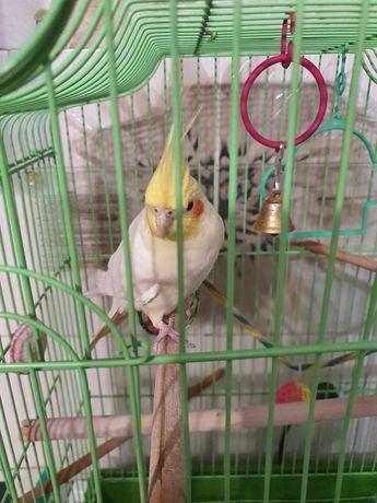 Продам попугая( Корелла)с клеткой