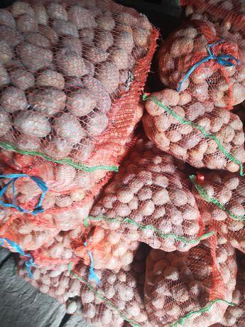 Vând cartofi sămânță