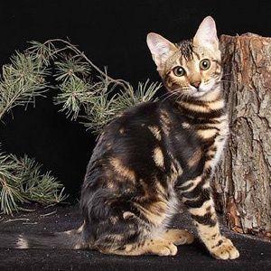 Плащевой мрамор изумительный окрас бенгальских кошек