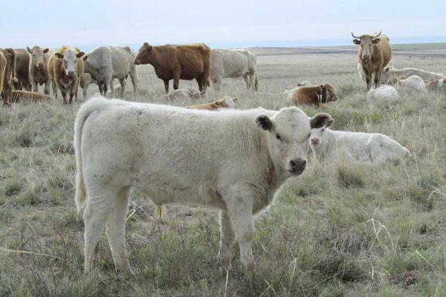 Продам телята телочки Ангус симментал белоголовые бычки КРС
