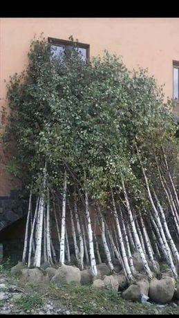 Vând copaci ornamentali mesteacăn teii
