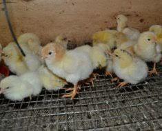 Цыплята Ломан Браун