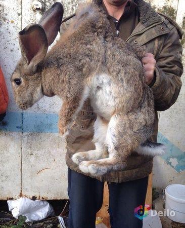 Кролики крольчата кролихи кролы