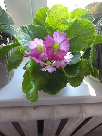 Комнатные цветочки для любителей- цветоводов.