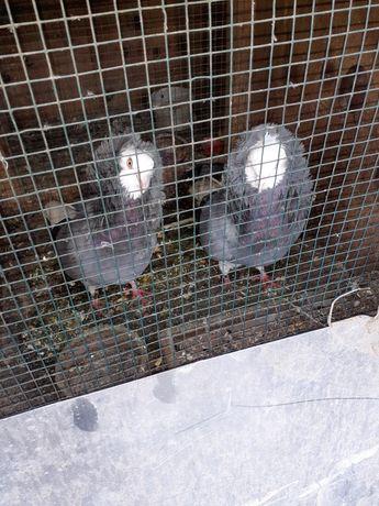 Vand porumbei capucini