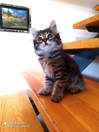 Сибирский котенок из первого питомника