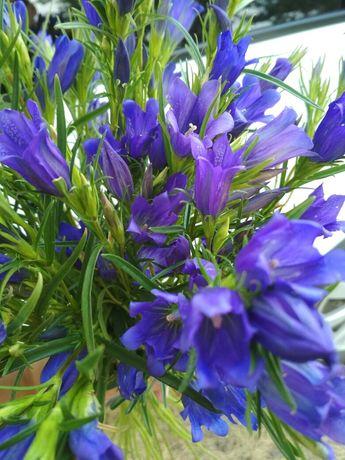Продам цветы Колокольчики дачные