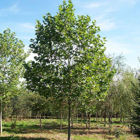 Platani, mesteacan, tei, catalpa, salcam. Copaci mari 3 - 7m