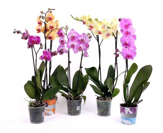 Орхидеи по Акции 5990₸ Комнатные растения Цветы Доставка цветов