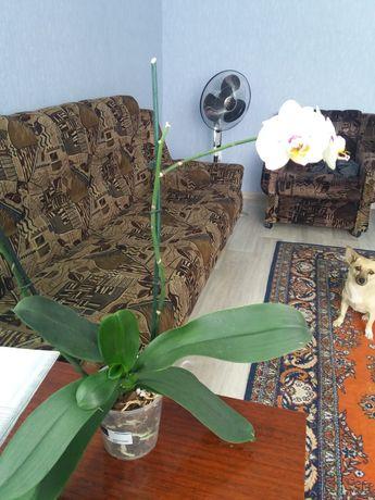 Продам орхидею с деткой
