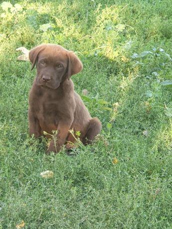Labrador ciocolatiu și Auriu