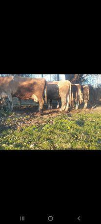 5 vaci devanzare