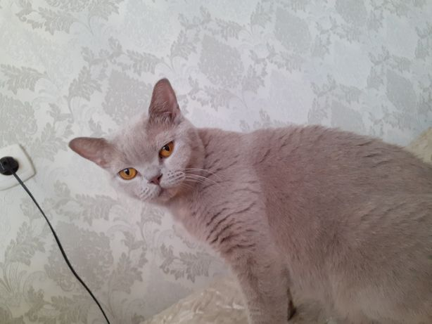 Отдам британскую кошку