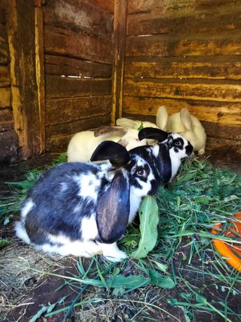 Vând iepuri tineri