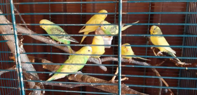 Pasari exotice (papagali perusi + colivie )