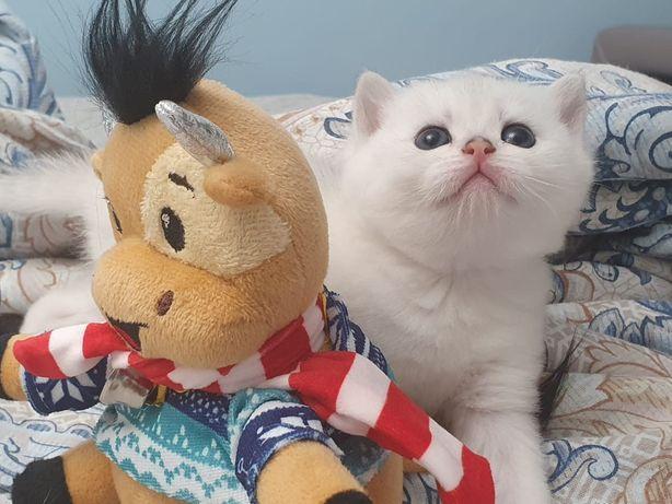 Шиншиллы британские чистородные котята. Есть обмен