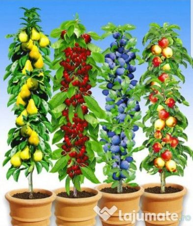 Pomi Fructiferi Columnari