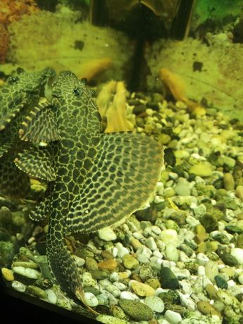 Plecostomus 20 cm