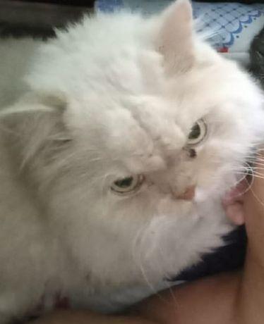 Потерялся кремовый классический персидский кот