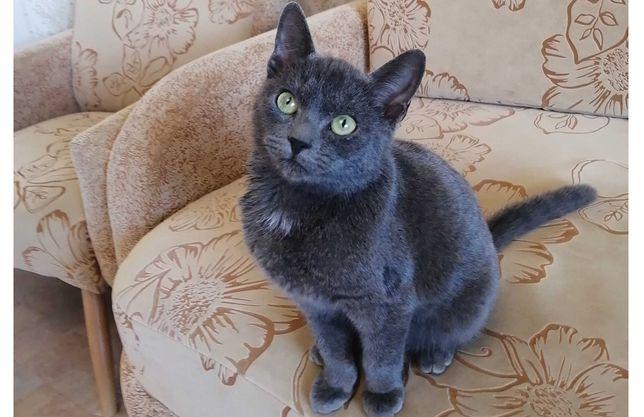 Красивый котик порода корат, ему 5 месяцев
