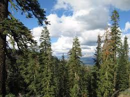Иглолистна гора