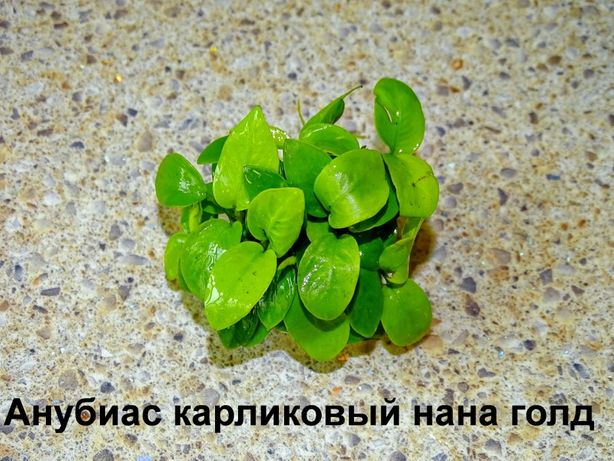 """Аквариумное растение - Анубиас карликовый золотистый """"Бонсай"""""""